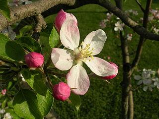 320px-Apple_Blossom_-_Michigan