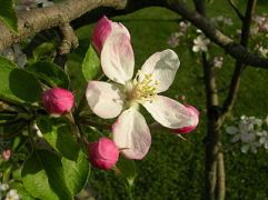 320px-Apple_Blossom_-_Michigan